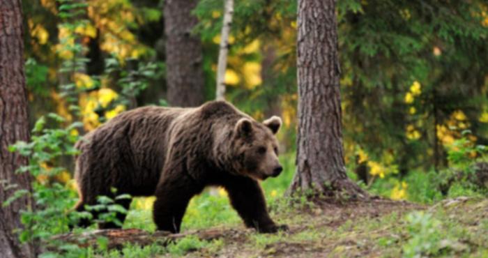 Ведмідь (фото ілюстративне)