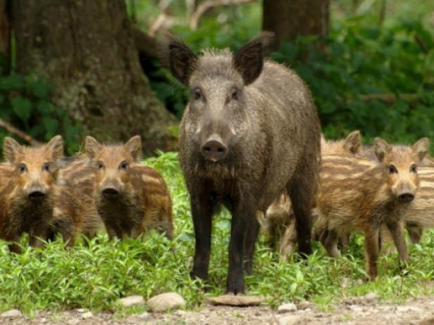 Черговий випадок африканської чуми свиней в області зафіксували на Ківерцівщині в першій декаді лютого.