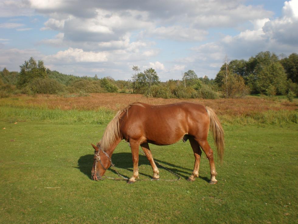 Кошарівські пасовища для коней