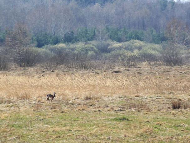 Мандрівнику вдалось сфотографувати зайця біля села Ольганівка