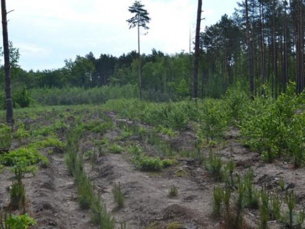 Як на Маневиччині доглядають за лісовими культурами