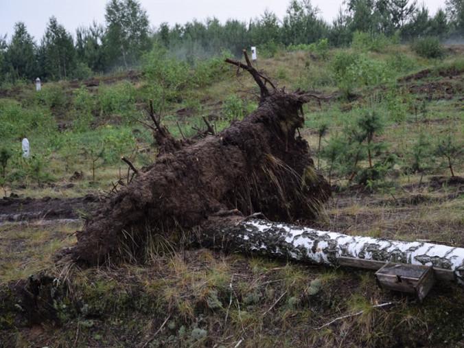 Буревій повикорчовував дерева