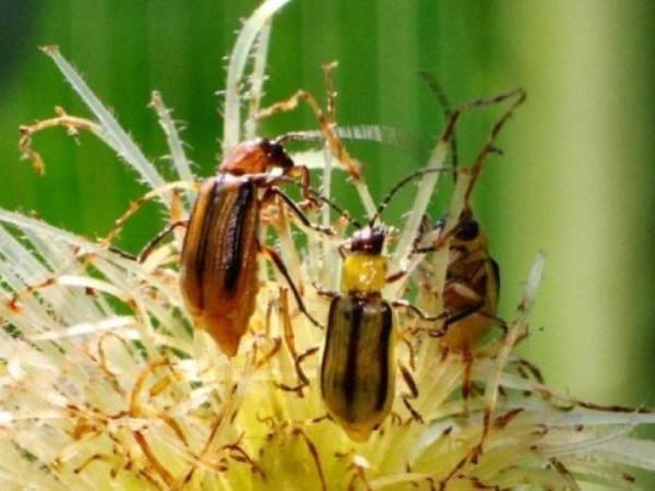 Кукурудзяний жук