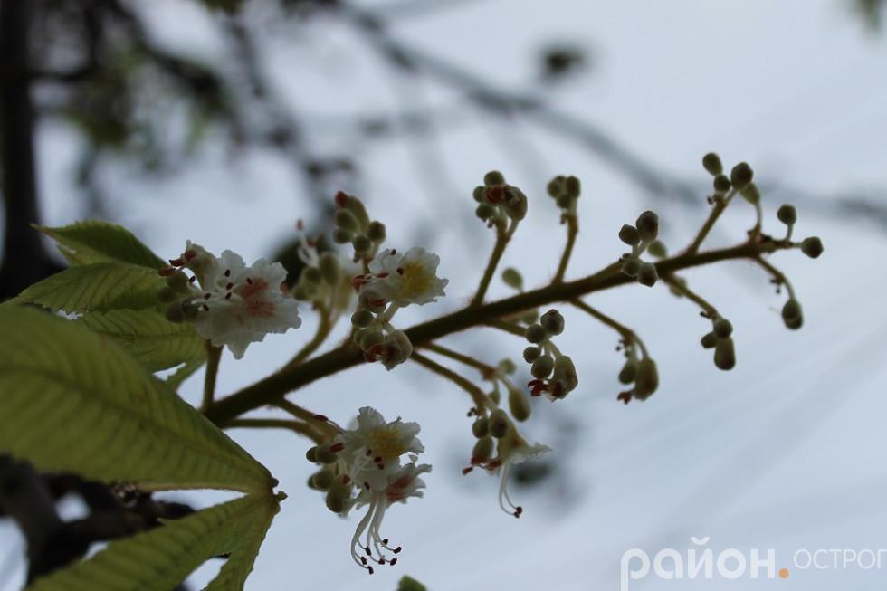 Свічечки каштанів поміж сухого листя
