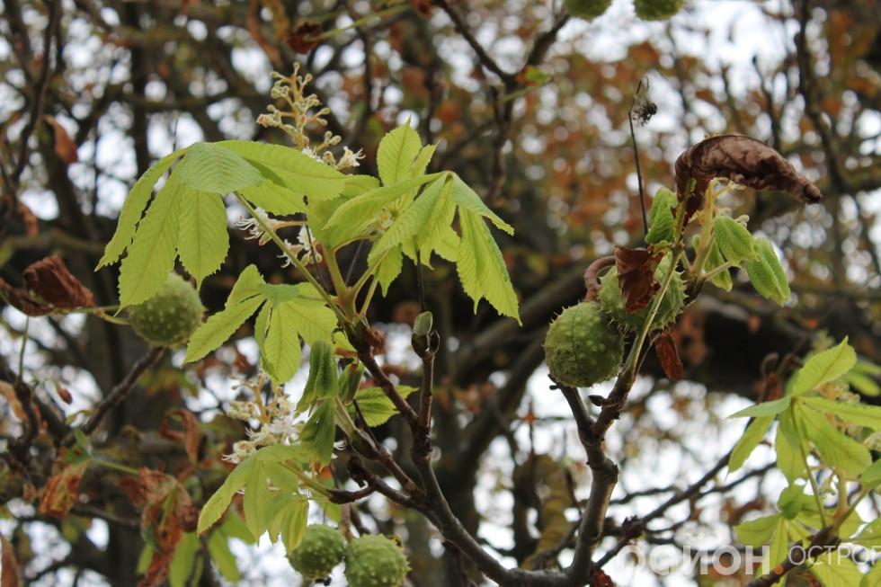 На одній гілці їжачки каштанів і цвіт