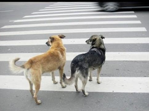 Як у Луцькудотримуються правил дорожнього руху люди і собаки