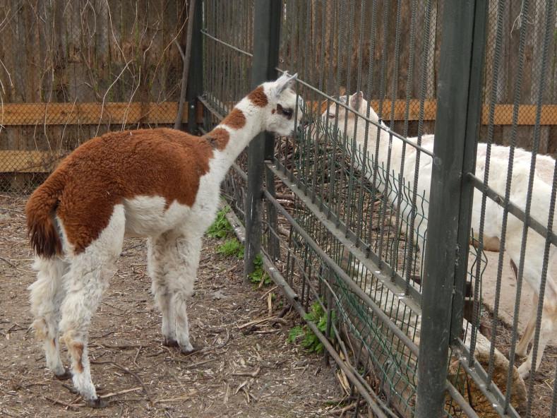 У самця альпаки з Луцького зоопарку з'явилася пара