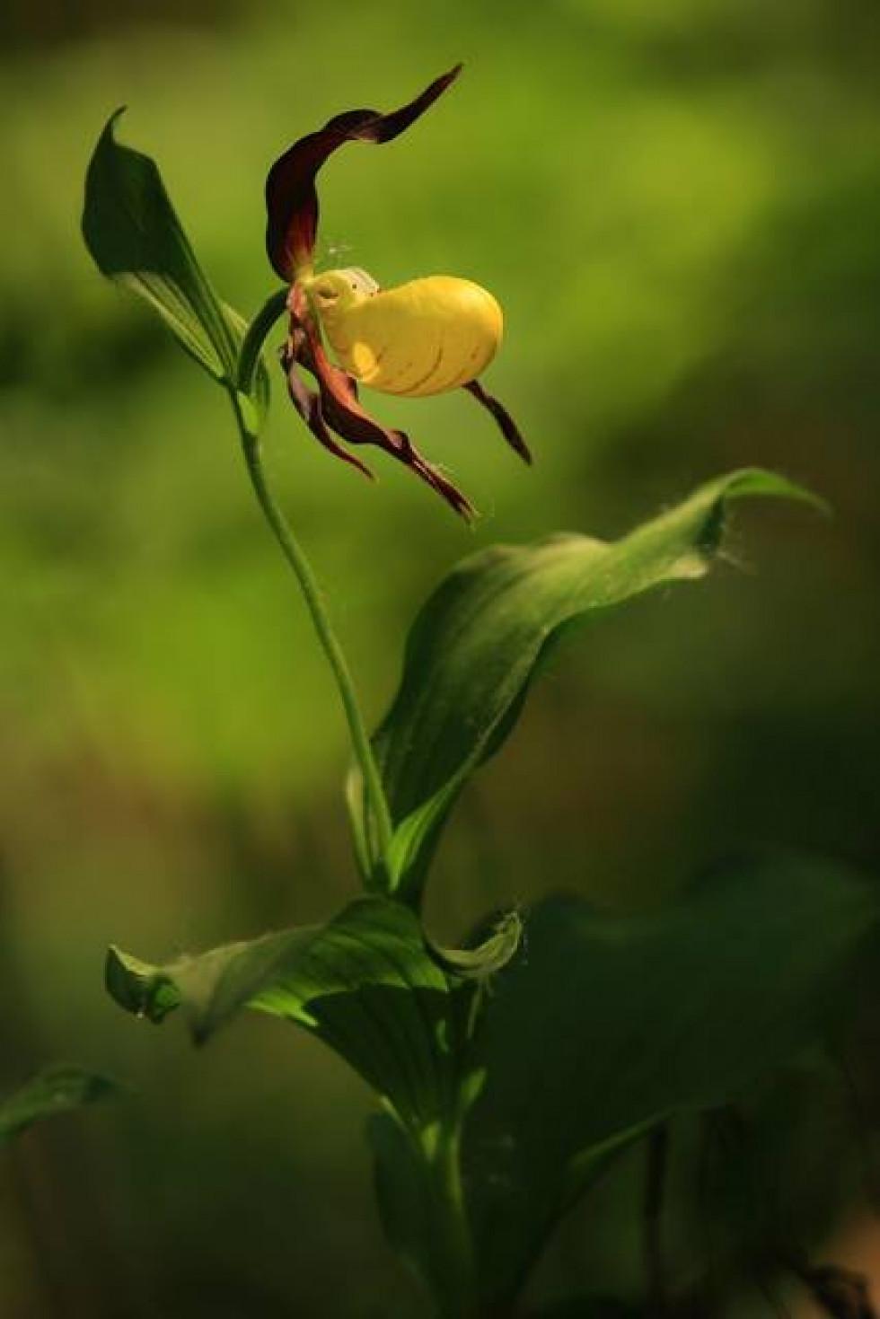 Зозулині черевички справжні - Cypripedium calceolus L.