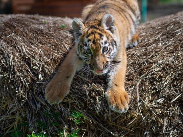 Тигриця позувала фотографу