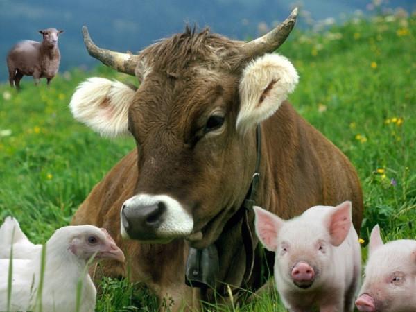 У тваринництві отримано на 2,0% продукції менше, ніж у січні–вересні 2017р.