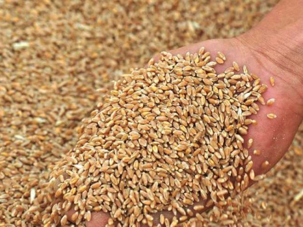 На Турійщині знизилася врожайність зернових