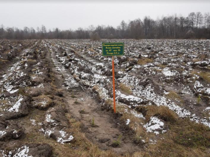 Як на Маневиччині створюють плантації новорічних ялинок