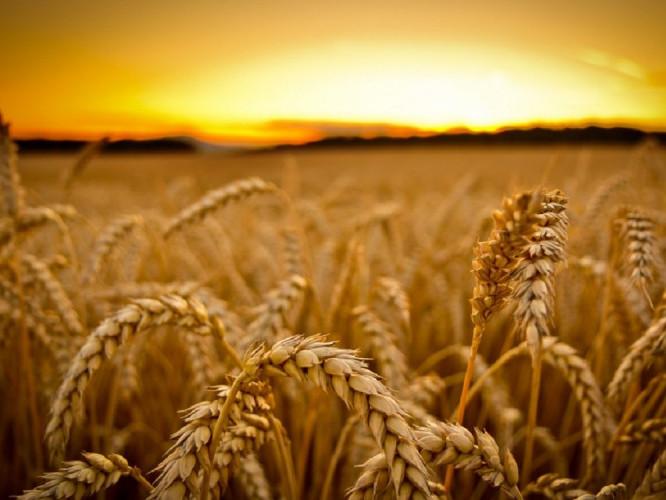 Господарство з Іваничівщини вирощує на експорт органічні зернові та гречку