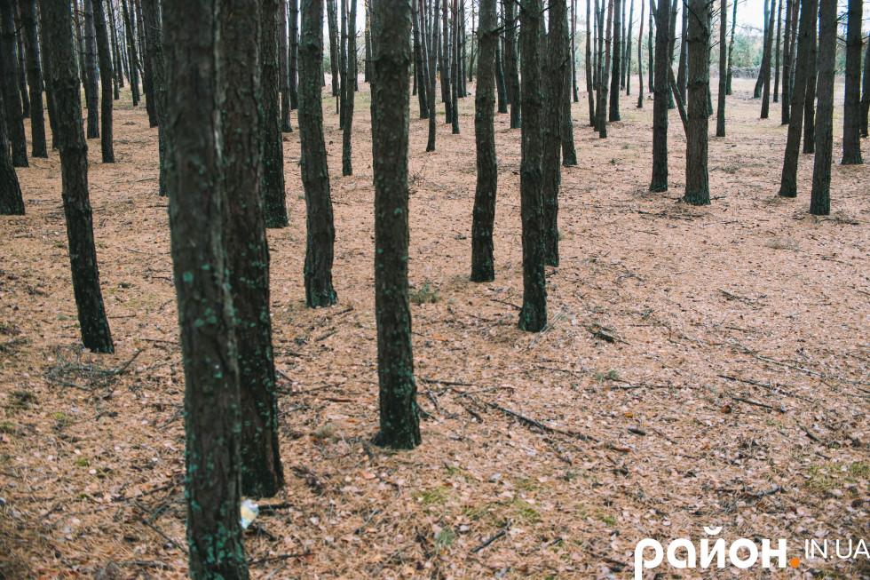 Молоді насадження навколо Кривого лісу