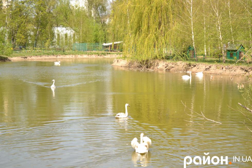 По ставку зоопарку плавають лебеді