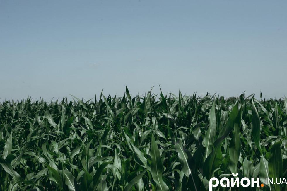 Кукурудзяні поля