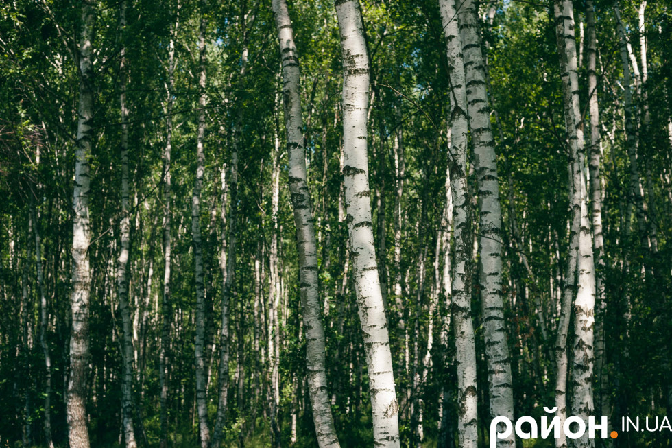 Береза – одна з основних культур у лісництві
