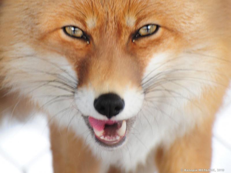 Часто носієм вірусу сказу є червона лисиця. Фото Валерія Мельника