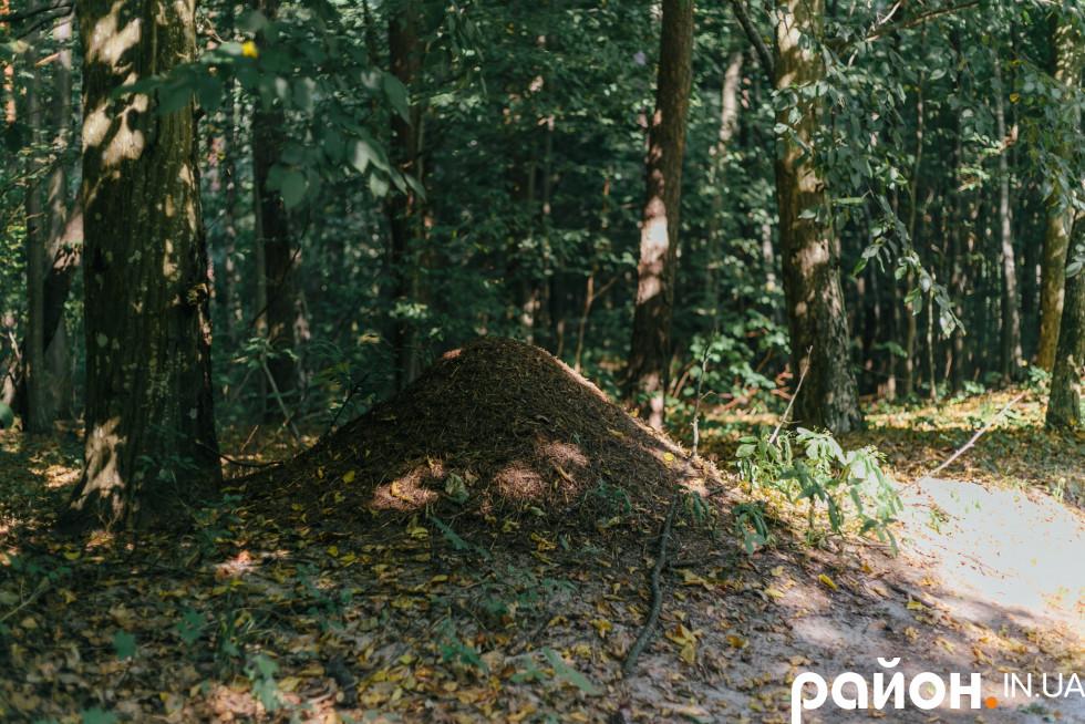 Величезний мурашник у лісництві, яким опікується Віктор Вишневський